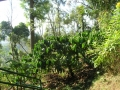 16 coffee plantation in front of wooden room1.JPG
