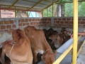 18 uayagiri centre cows.JPG